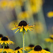 Brown Eyed Susans On Yellow And Green Poster