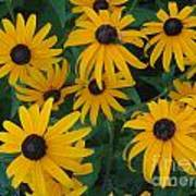 Brown Eyed Susans Poster