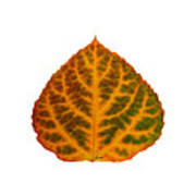 Brown Green Orange And Red Aspen Leaf 1 Poster