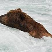 Brown Grizzly Bear Swimming  Poster
