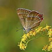 Brown Hairstreak Butterfly Poster by Science Photo Library