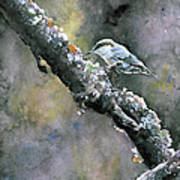 Brown-headed Nuthatch Poster