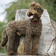 Brown Labradoodle Standing On Tree Stump Poster