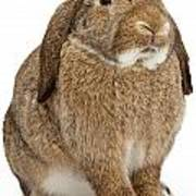 Brown Lop-earred Rabbit Isolated On White Poster