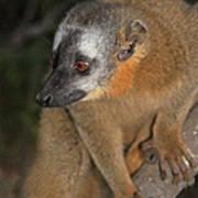 brown Maki Madagascar 2 Poster
