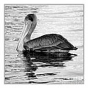 Brown Pelican - Black And White Poster