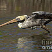 Brown Pelican Fishing Photo Poster
