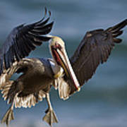 Brown Pelican Flying California Poster