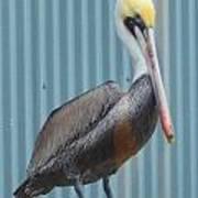 Brown Pelican II Poster