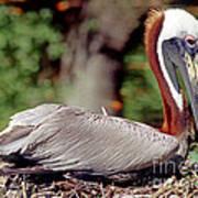 Brown Pelican Incubating Eggs Poster