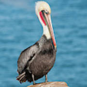 Brown Pelican Pelecanus Occidentalis Poster