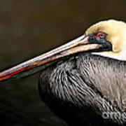 Brown Pelican Portrait Poster