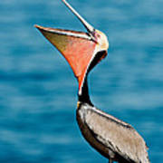 Brown Pelican Showing Pouch Poster