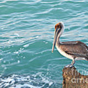 Brown Pelican South Jetty Venice Florida Poster