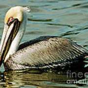 Brown Pelican Swimming Poster