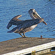 Brown Pelican Takes Flight Poster