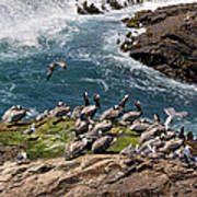 Brown Pelicans And Gulls On The Reef Poster