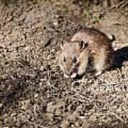 Brown Rat Poster