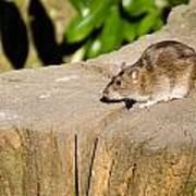 Brown Rat On Log Poster