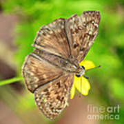 Brown Skipper Butterfly Square Poster