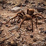 Brown Tarantula Poster