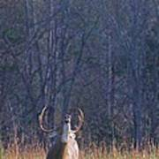 Buck In The Rut Poster