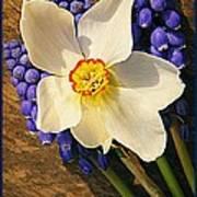 Buckeye And Grape Hyacinth Poster