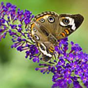 Buckeye Butterfly On Purple Flowers Poster
