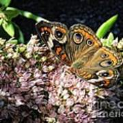 Buckeye Butterfly On Sedum Poster