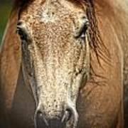 Buckskin Stallion Poster