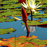 Budding Lilies Poster