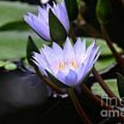 Budding Purple Water Lilies Poster