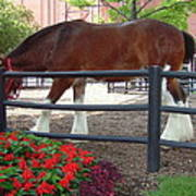 Budweiser Clydesdale Poster