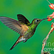 Buff-tailed Coronet Poster