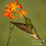 Buff-tailed Coronet Hummingbird No 1 Poster