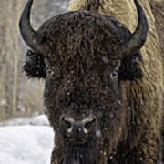 Buffalao In Snow Poster