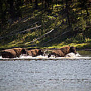 Buffalo Crossing - Yellowstone National Park - Wyoming Poster