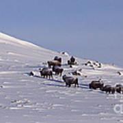 Buffalo Herd In Snow   #6075 Poster