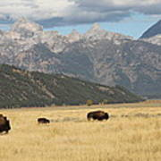Buffalo In The Tetons Poster