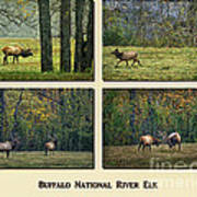 Buffalo National River Elk Poster