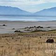 Buffalo Of Antelope Island V Poster