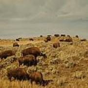 Buffalo On The Prairie Poster