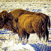 Buffalo Painting Poster