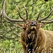 Bugling Bull Elk II Poster by Ron White