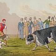Bull Baiting Poster
