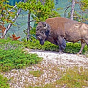 Bull Bison Near Mud Volcanoes In Yellowstone National Park-wyoming Poster