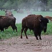 Bull Buffalo Guarding Herd With Green Grass Poster