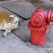 Bull Dog And The Fire Hydrant Standoff Poster
