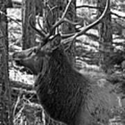 Bull Elk Bw Poster