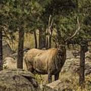 Bull Elk In Forest Poster